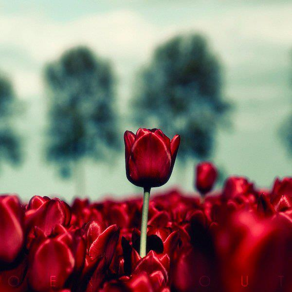 One Tulip red